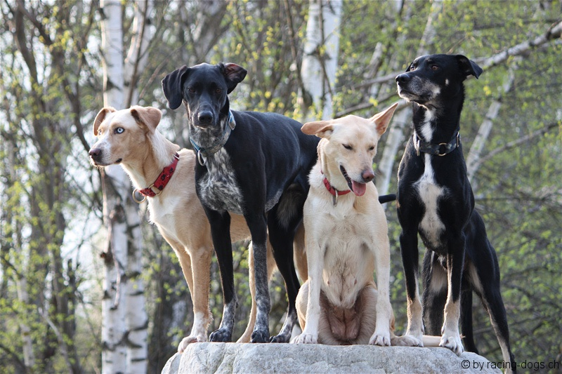 Hunting Pointer Dogs For Sale