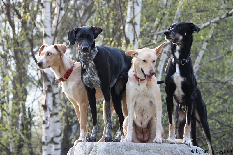 scandinavian hound