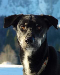 Koda (Alaskan Husky)
